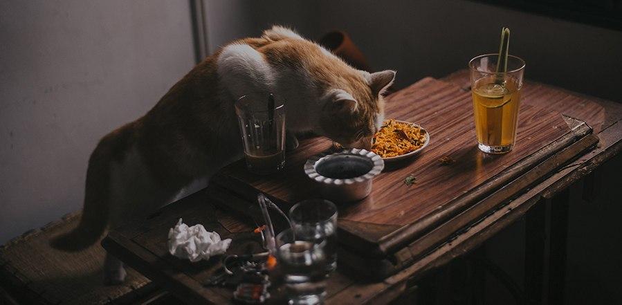 jak karmić dorosłego kota